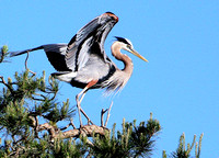 James Ross_Great Blue Heron